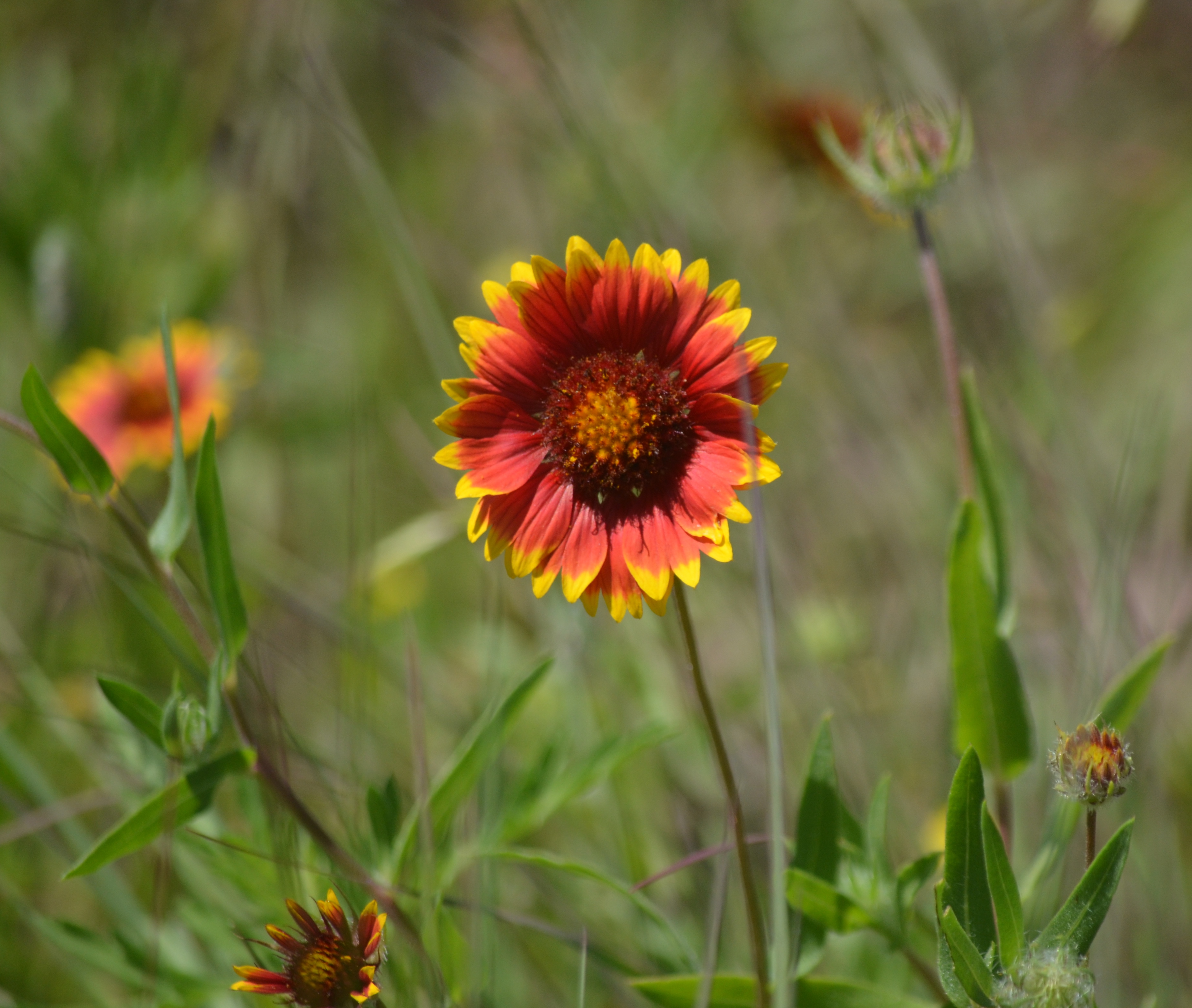 indian blanket confetti thoughts